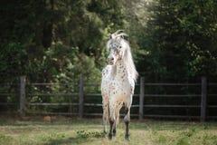 Лошадь appaloosa Knabstrup идя рысью в луге Стоковое Фото