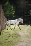 Лошадь appaloosa Knabstrup идя рысью в луге Стоковые Изображения RF