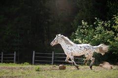 Лошадь appaloosa Knabstrup идя рысью в луге Стоковое Изображение RF