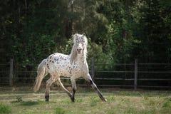 Лошадь appaloosa Knabstrup идя рысью в луге Стоковые Фото