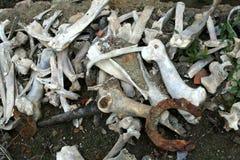 Лошадь bones 1601 Стоковое Изображение