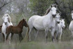 Лошадь Camargue белая Стоковое фото RF