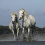 Лошадь Camargue белая стоковая фотография