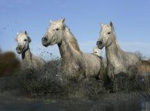 Лошадь Camargue белая стоковые фотографии rf