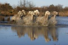 Лошадь Camargue белая стоковое фото