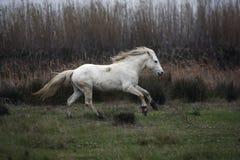 Лошадь Camargue белая стоковое изображение