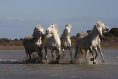 Лошадь Camargue белая стоковое изображение rf