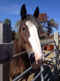 Лошадь Clydesdale Стоковые Изображения RF