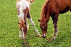 Лошадь Colts Минни пася Стоковое Изображение
