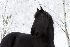 Лошадь Friesian в зиме с снегом покрыла деревья стоковые изображения rf