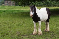 Лошадь Gypse Стоковое Изображение