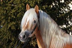 Лошадь Haflinger в солнце зимы Стоковое Изображение