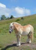 Лошадь Haflinger, остров Ruegen, Балтийское море, Германия Стоковые Фотографии RF