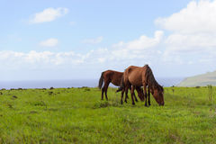 Лошадь Isla de Pascua Rapa Nui остров пасхи стоковое фото