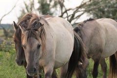 Лошадь Konik гуляя Стоковое фото RF