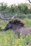 Лошадь Konik на движении Стоковые Фотографии RF