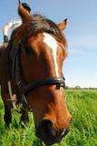 лошадь nosey Стоковое Изображение