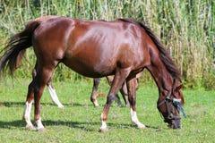Лошадь Peacefull аравийская пася свежую зеленую траву Стоковые Изображения RF