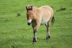 Лошадь Przewalski, также Takhi, азиатская дикая лошадь или вызванная дикая лошадь Монгол, единственный подвид дикой лошади котора Стоковая Фотография