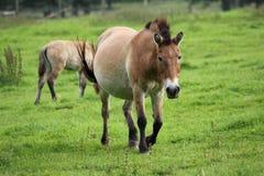 Лошадь Przewalski, также Takhi, азиатская дикая лошадь или вызванная дикая лошадь Монгол, единственный подвид дикой лошади котора Стоковое Изображение RF