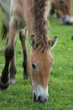 Лошадь Przewalski, также Takhi, азиатская дикая лошадь или вызванная дикая лошадь Монгол, единственный подвид дикой лошади котора Стоковое фото RF