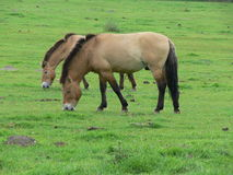 Лошадь Przewalski, также Takhi, азиатская дикая лошадь или вызванная дикая лошадь Монгол, единственный подвид дикой лошади котора Стоковые Фотографии RF
