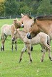 Лошадь Przewalski, также Takhi, азиатская дикая лошадь или вызванная дикая лошадь Монгол, единственный подвид дикой лошади котора Стоковые Фото