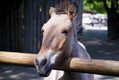 Лошадь Przewalski Стоковые Изображения