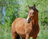 Лошадь purebred залива Стоковая Фотография