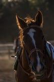 Лошадь Thoroughbread на поле стоковое изображение