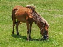 Лошадь Yonaguni Стоковые Изображения RF
