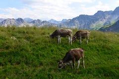 Луга горы с коровами в баварских Альпах Стоковая Фотография RF