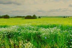Луга лета стоцвета и cornflowers Стоковое Изображение