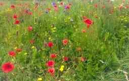 Луга полевого цветка Стоковые Изображения