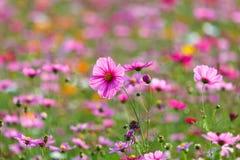 Луга цветка космоса, космос, цветут космос парка Chiang Rai Singha Стоковое Изображение