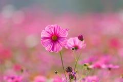Луга цветка космоса, космос, цветут космос парка Chiang Rai Singha Стоковое фото RF