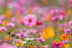 Луга цветка космоса, космос, цветут космос парка Chiang Rai Singha Стоковые Изображения RF