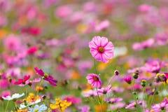 Луга цветка космоса, космос, цветут космос парка Chiang Rai Singha Стоковое Изображение RF