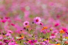 Луга цветка космоса, космос, цветут космос парка Chiang Rai Singha Стоковые Изображения