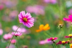 Луга цветка космоса, космос, цветут космос парка Chiang Rai Singha Стоковое Фото