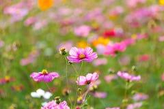 Луга цветка космоса, космос, цветут космос парка Chiang Rai Singha Стоковая Фотография