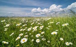 Луг белых маргариток весной маргаритка Вол-глаза Vulgare Leucanthemum Стоковые Изображения RF