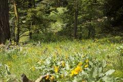 Луг Вашингтона высокогорный Стоковое Изображение