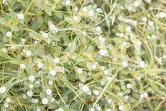 Луг весны белых свежих цветков маргаритки Стоковые Изображения RF