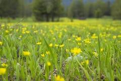 Луг весны высокогорный с Wildflowers Стоковое фото RF