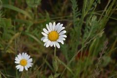 Луг весны и белые маргаритки в романтичном ретро стиле Стоковое Фото