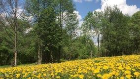 Луг весны перерастанный с цветя одуванчиками Солнечная весна в парке акции видеоматериалы