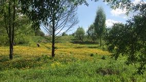 Луг весны перерастанный с цветя одуванчиками Солнечная весна в парке видеоматериал