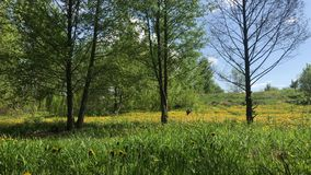 Луг весны перерастанный с цветя одуванчиками Солнечная весна акции видеоматериалы