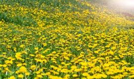 Луг весны солнечный с одуванчиками Стоковая Фотография